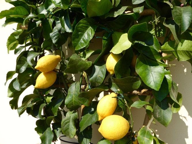 pianta di limoni giardino casa vacanze villa cerine altopascio
